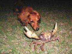 Καβουρογαμόσκυλος ο πονηρός (από Vrastaman, 12/09/08)