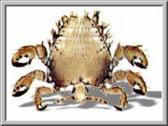 Καβουρογαμόψειρα η ηβική (από Vrastaman, 12/11/08)