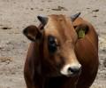 Αναμένοντας τον χορτοφάγο...Θα με φάει και θα τον φαώ επίσης.Είμαι τρελή αγελάδα εγώ (από GATZMAN, 06/11/08)