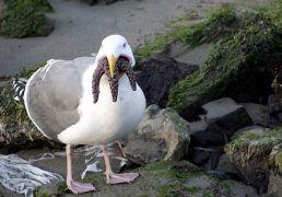 Ένα ικανό πουλί, μπορεί να τον φάει τον αστερία ζωντανό (και να του αρέσει κιόλας) (από Galadriel, 01/03/09)