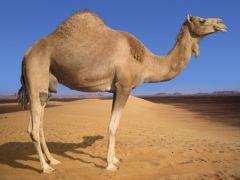 camel (από sexpeer, 26/03/09)