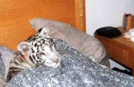 ...τίγρης στο κρεβάτι, πιλαλήστε Χριστιανοί! (από Vrastaman, 04/04/09)