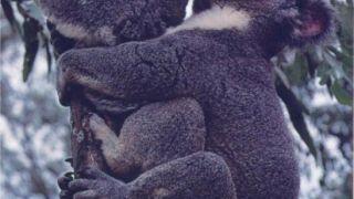 Και τα κοάλα καλά (από poniroskylo, 22/05/09)