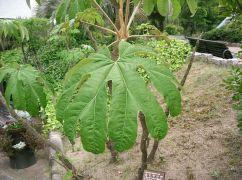 Το δέντρο που βγάζει ριζόχαρτα (από poniroskylo, 14/06/09)