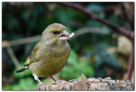 Το πτηνό φλώρος. Λίγο φλώρικο δεν είναι; (από Khan, 04/08/09)