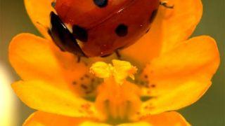 Φυσικό ζάρι (πασχαλίτσα, βλ. σχόλια) (από GATZMAN, 14/10/09)