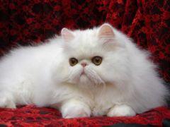 Achtung τριχοφοβικοί, ο γάτος αυτός νιαουρίζει φαρσί (από Vrastaman, 24/11/09)