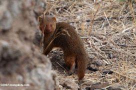 Μαγκούστα νάνος, σε πιο κατασκοπευτική φωτογραφία. (από patsis, 28/01/10)