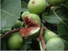 Ficus Dentatus (από Vrastaman, 04/01/10)