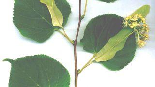 Φύλλα και καρποί του δέντρου Tilia cordata (από Αλάριχος Τεκέλογλου, 28/05/10)