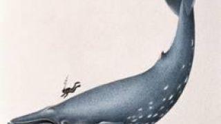 Μπλέ φάλαινα. Κάτοχος του μεγαλύτερου πέους στο ζωικό βασίλειο (από GATZMAN, 06/04/11)