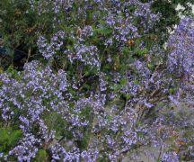 ανθισμένα δέντρα στην Αθηνάς, κάθε Ιούνιο (από ironick, 01/05/11)