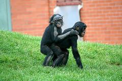 Χιμπατζήδες Bonobo, οι πιο σεξουαλικά δραστήριοι στο ζωικό βασίλειο (από Vrastaman, 17/10/11)