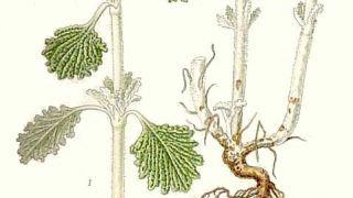 Marrubium vulgare, aka σκουλόχορτο (από mafie, 11/11/11)