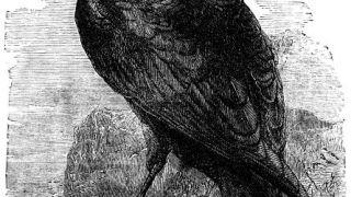 Corvus Corax (από Pirate Jenny, 02/05/12)
