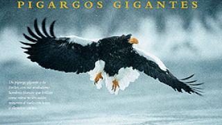 Πύγαργος αετός.  (από Khan, 01/07/12)