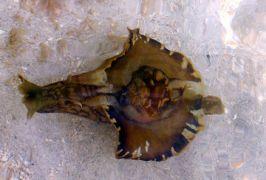 Είδος θαλασσινού μουνιού (από σφυρίζων, 21/02/13)