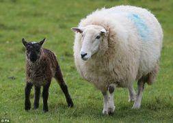 γιδ(ερ)οπροβατάκι από το Kildare της Ιρλανδίας με την μαμά