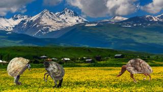 βουνίσια στρείδια